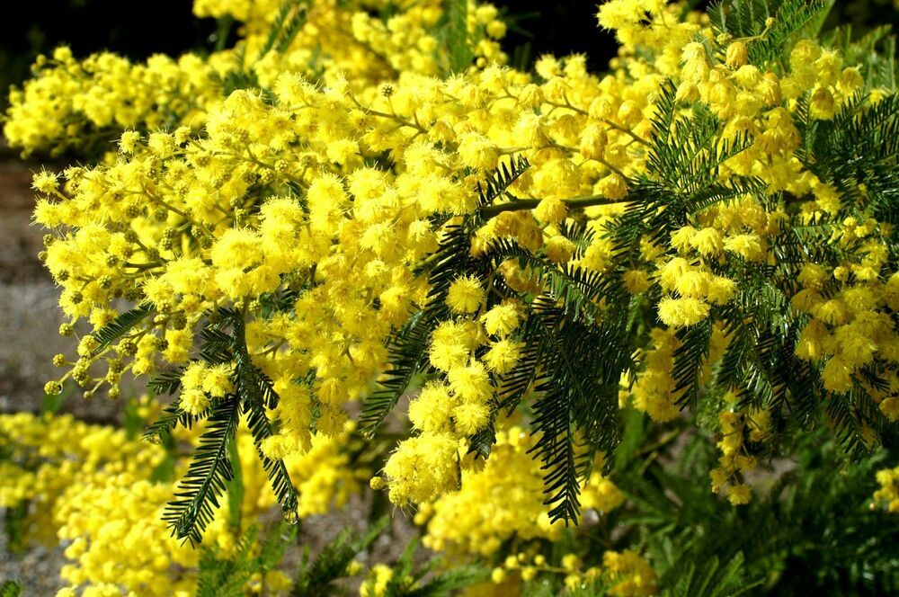 15 Sweet Acacia Seeds, Direct from the Grower FREE