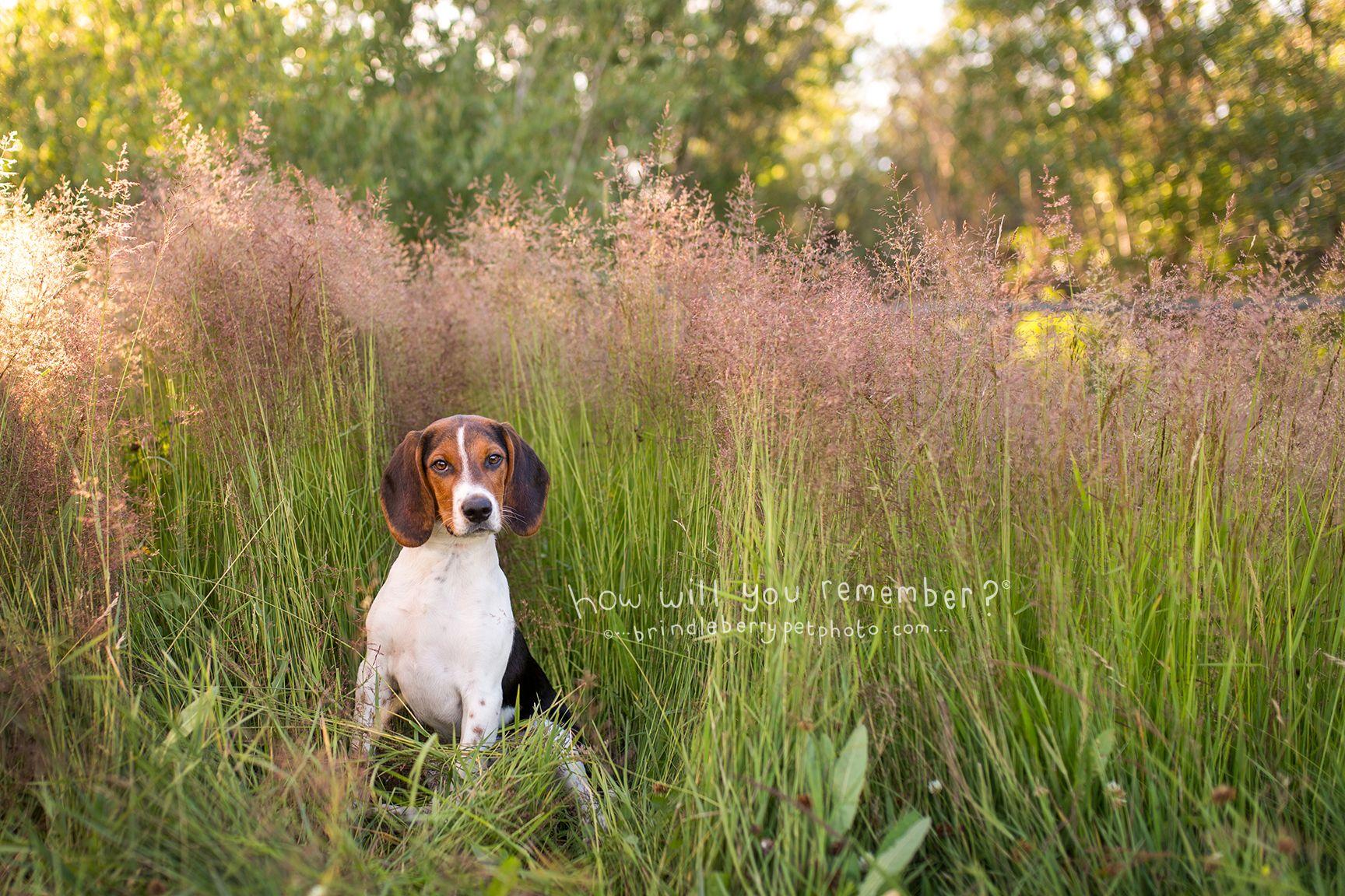 Enzo The Beagle Puppy Hiding In The Grass Beagle