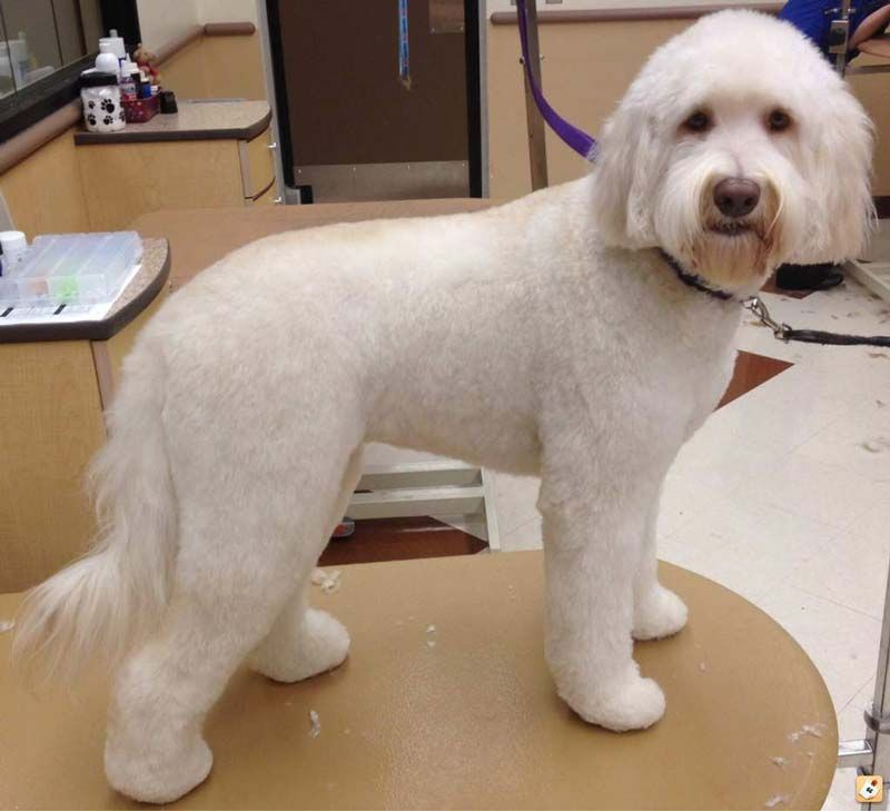 Haircuts For Goldendoodles Pictures: Types Of Goldendoodle Haircuts