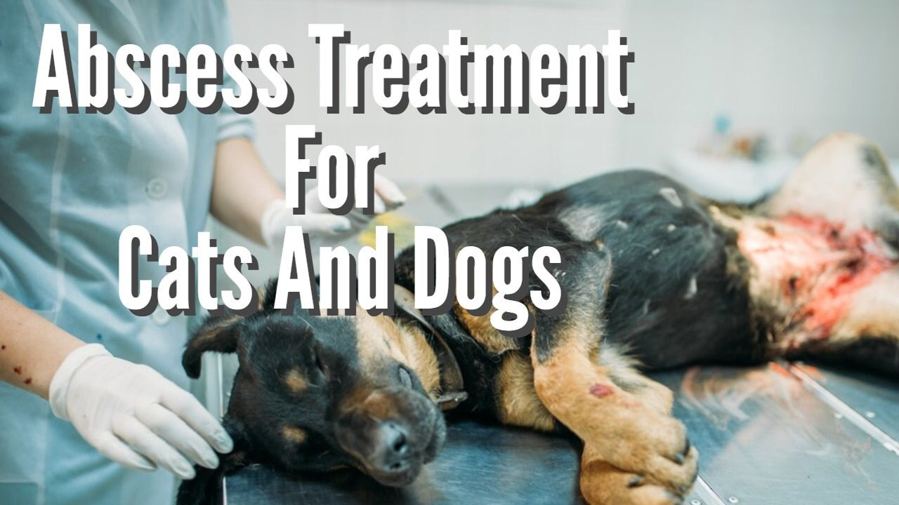 Can you treat abcess at home? Dogs, Dog cat, Dog doctor