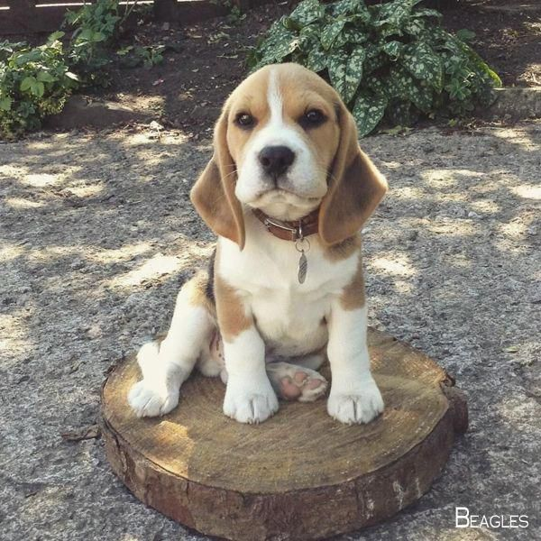 Beagle Friendly And Curious Beagle Puppy Beagle Dog Baby Beagle