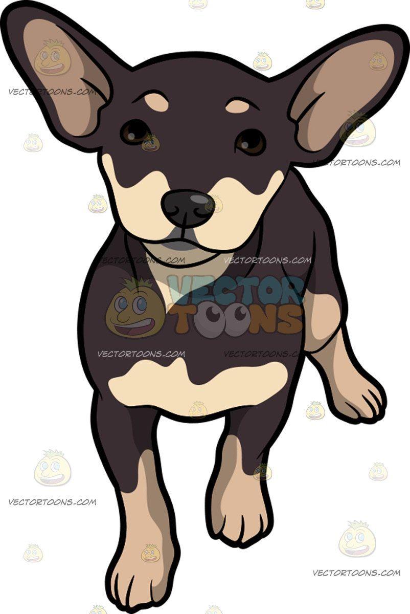 A Curious Little Chiweenie Dog Chiweenie Dogs Dog Behavior