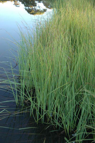 Wetland Plants And Sedges Bluedale Wholesale Nursery Wetland Plants Wholesale Nursery