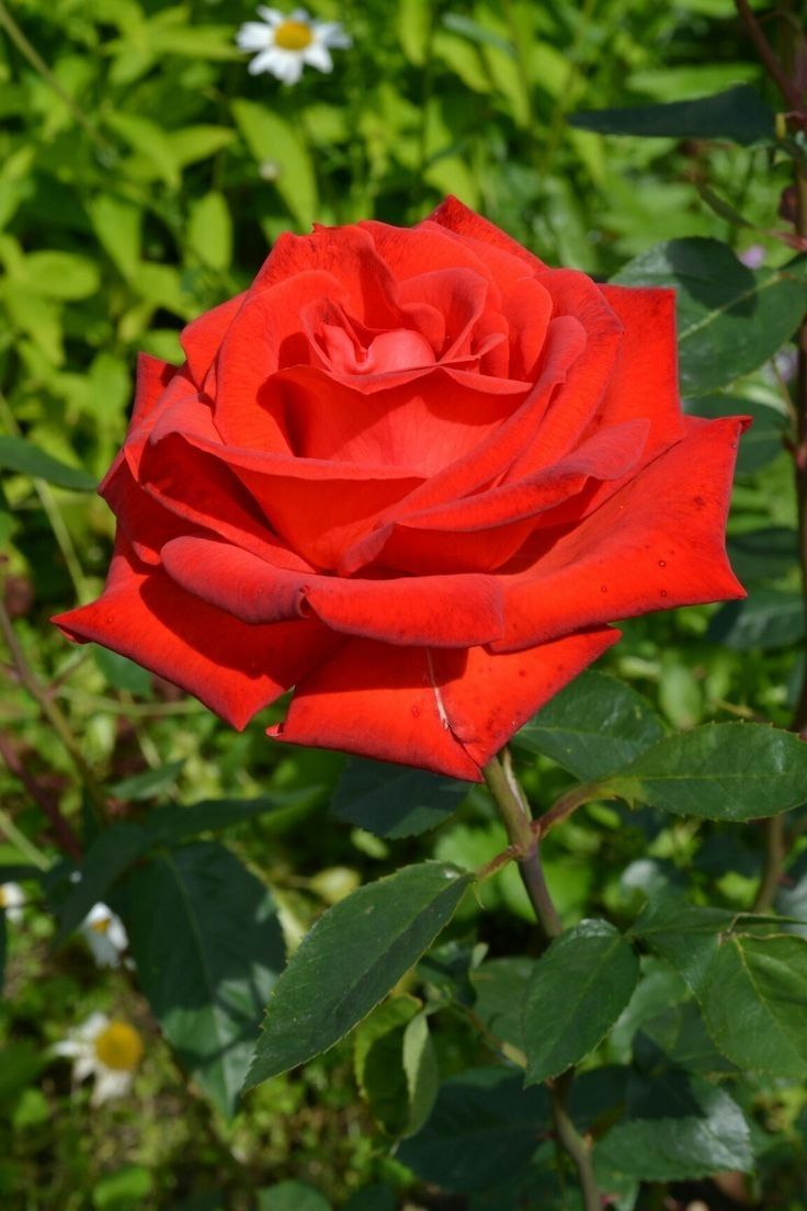 Pin by pink beauty on jr in 2018 pinterest red roses pin by pink beauty on jr in 2018 pinterest red roses beautiful flowers and beautiful roses izmirmasajfo