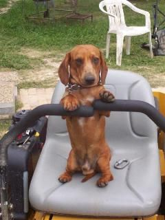 I Can Do This Just Push And Pull Dachshund Breeders Dachshund Puppies For Sale Weiner Dog