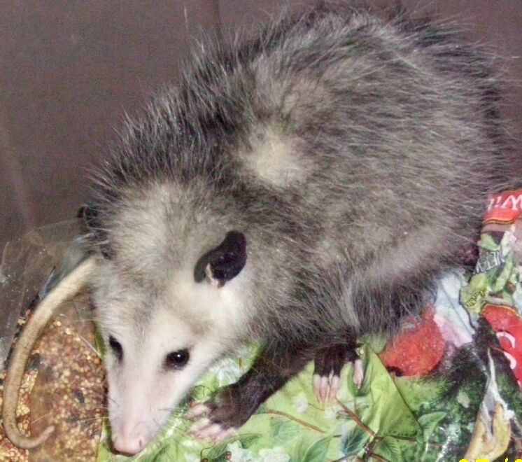 In fact, the Virginia Opossum is the only marsupial in ...