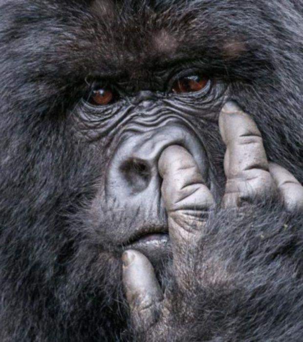 Comedy Wildlife Photography: ¡un gorilla pillado con las manos en la masa!