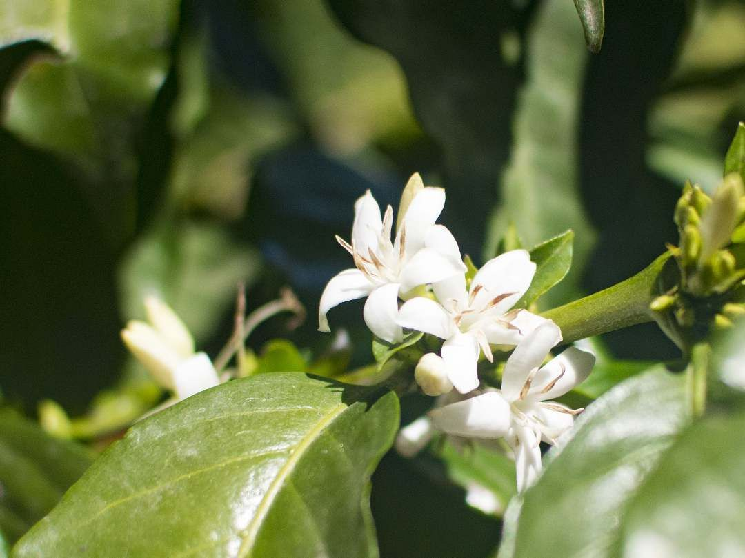 Did You Know That The Coffee Flower Smells Like Jasmine Coffee