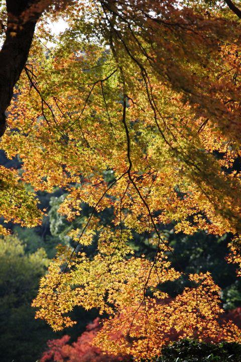 Autumnal leaves (Minoh Osaka JAPAN)