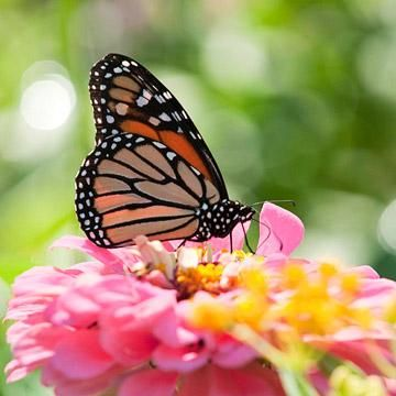 How to Attract Butterflies to Your Yard | Attract ...