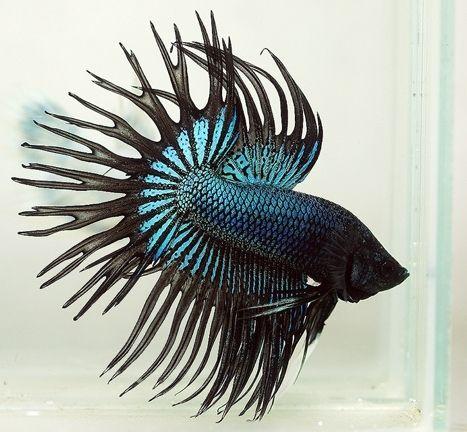 Dark knight halfmoon crowntail betta wow love for Betta fish mating