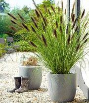 Schwarzes Lampenputzergras: 1A-Pflanzen   BALDUR-Garten