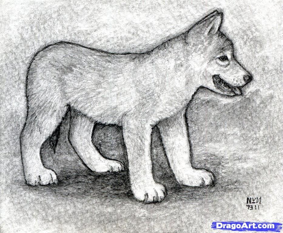 How To Draw Realistic Wolf Pups | How To Draw A Wolf Puppy