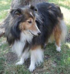 Dakota Is An Adoptable Shetland Sheepdog Sheltie Dog In Dallas Tx Dakota Is A Seven Year Old Sable Sheltie Shetland Sheep Shetland Sheepdog