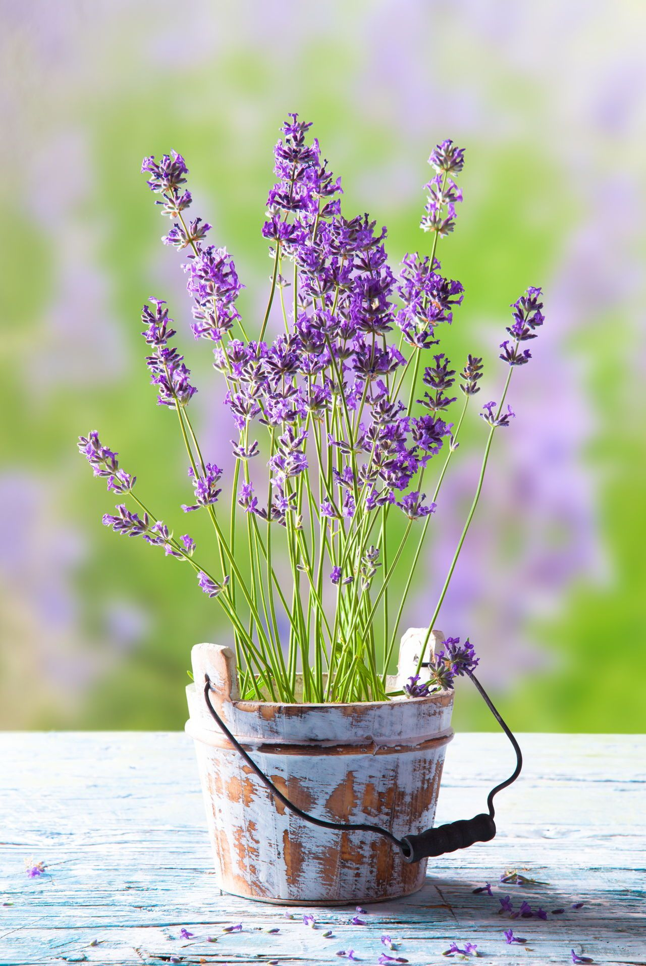 how to plant lavender seeds in containers