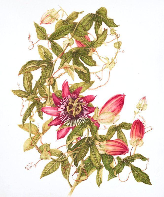 Passiflora violacea Common name: purple passionflower - Botanix