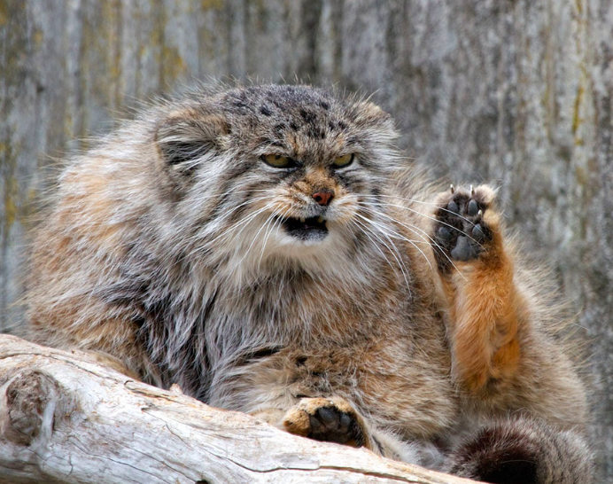 They are THICCCCCCC and ANGORY. Manul cat, Funny cats
