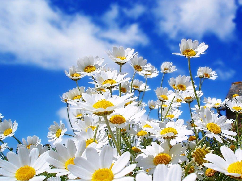 Daises the language of flowers pinterest flowers