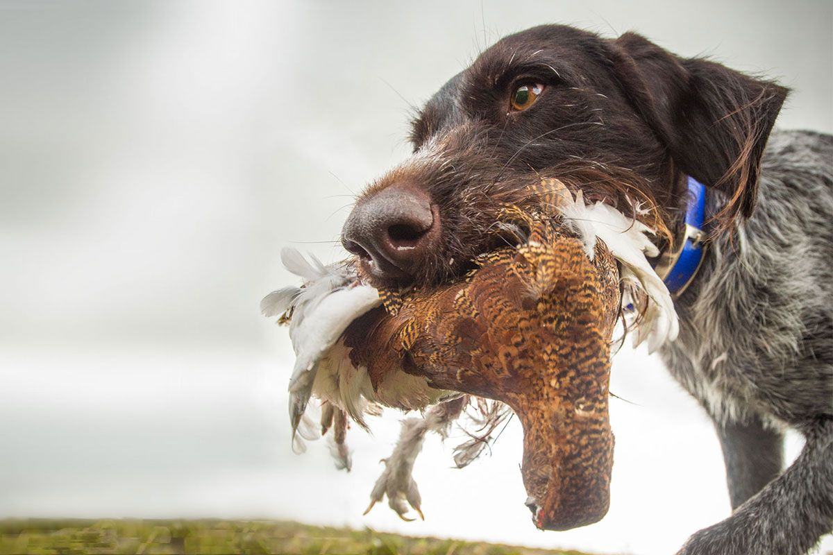 german wirehaired pointer bird dogs dogs german