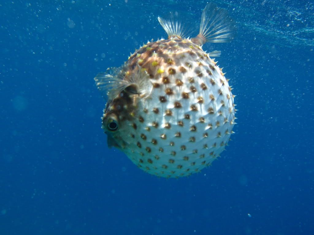 Cute Puffer Fish Wallpaper With Images Fish Background Puffer Fish Fish