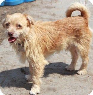 North Kingstown, CT Cairn Terrier/Tibetan Spaniel Mix