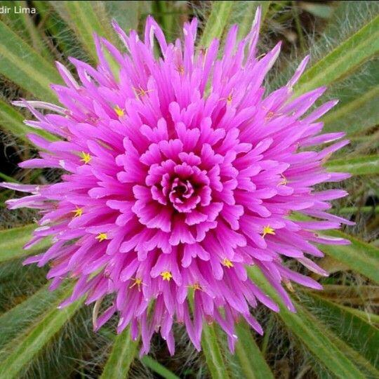Flor Do Cerrado Goias Brasil Com Imagens Flores Do Cerrado