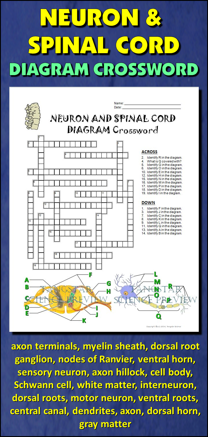 Neuron and Spinal Cord Crossword with Diagram {Editable} | Spinal ...