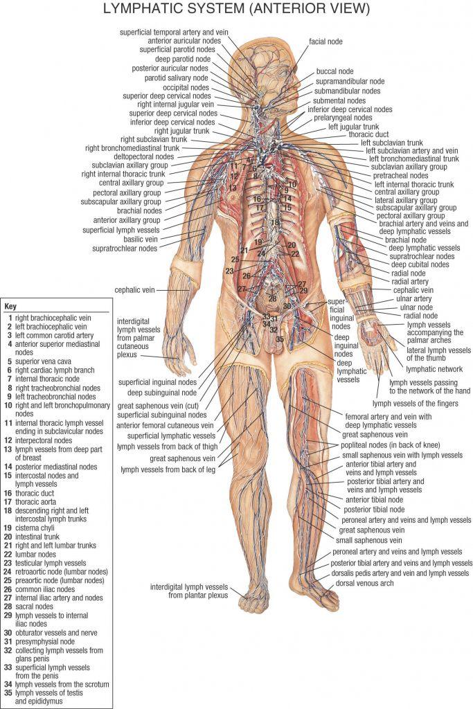 Image Result For All Lymph Nodes In Body Nursing Pinterest