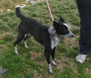 Cell Dog Zoey Is An Adoptable Australian Cattle Dog Blue Heeler