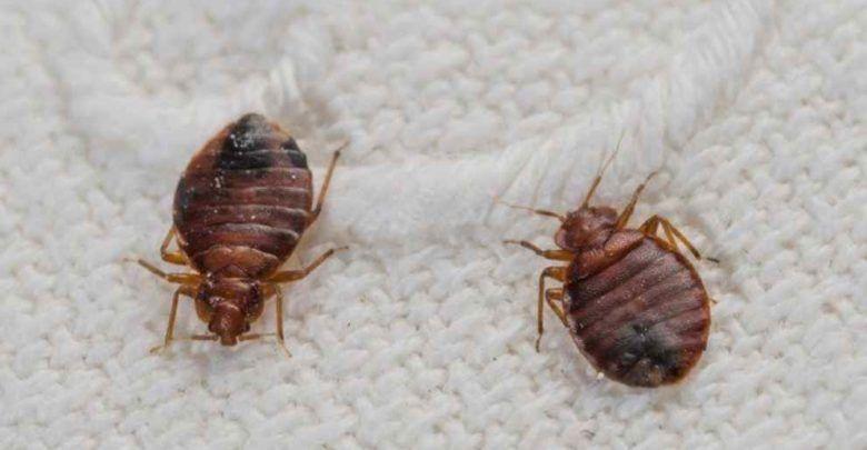 حشرة البق و 20 طريقة طبيعية للتخلص من آثار اللدغ Anti Punaise De