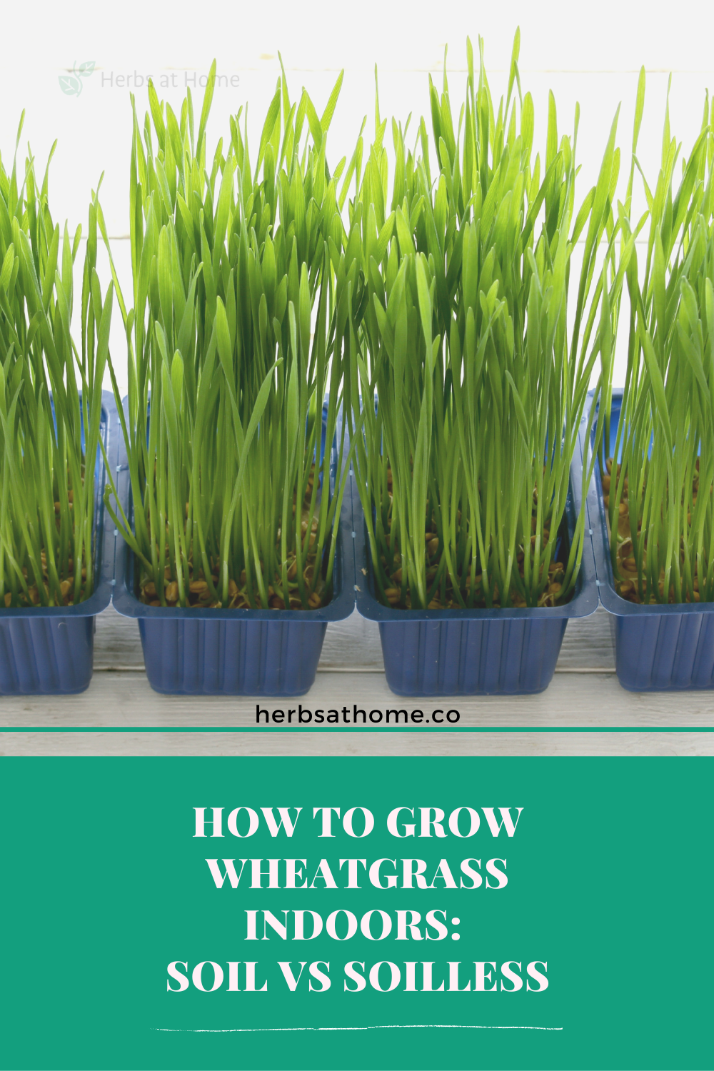 How to grow wheatgrass indoors Soil vs Soilless in 2020