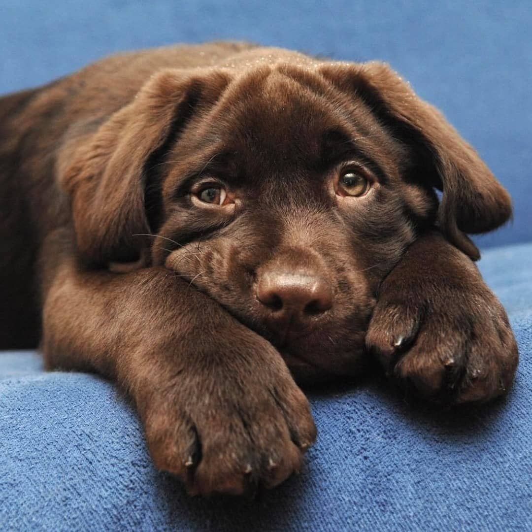 Adorable Chocolate Lab Puppy Labrador Puppy Chocolate Lab Puppies Cute Dogs And Puppies