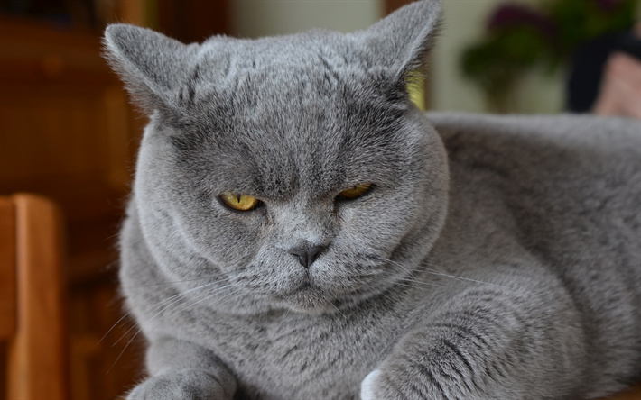 Herunterladen Hintergrundbild 4k Britisch Kurzhaar Katze Lustige Katze Schnauze Graue Katze Niedlich Tiere Katzen Hauskatze Britisch Kurzhaar Katze Kurzhaar Katzen Graue Katzen Susseste Haustiere