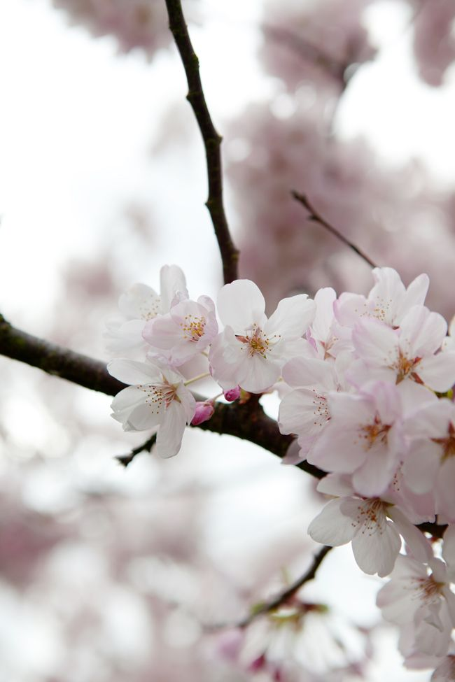 Cherry Blossom Image Via Cannelle Et Vanille Water Flowers Orange Flowers Flowers