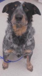 Rascal Is An Adoptable Australian Cattle Dog Blue Heeler Dog In