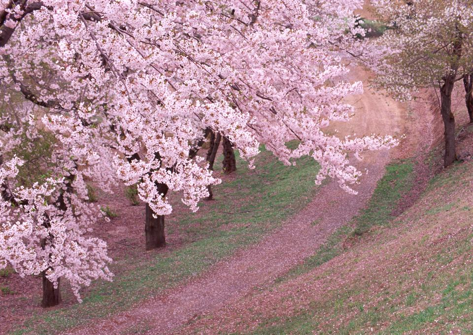 Garden Japan Blossoming Sakura Spring Blossom Hill Lawn Pink Hiking Tree Gorgeous Meadow Arch Nobody Na Landscape Background Landscape Wallpaper Cherry Blossom