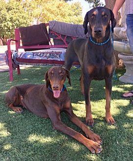 Pin By Christine Martinez On Adoption Puppies Pets Doberman