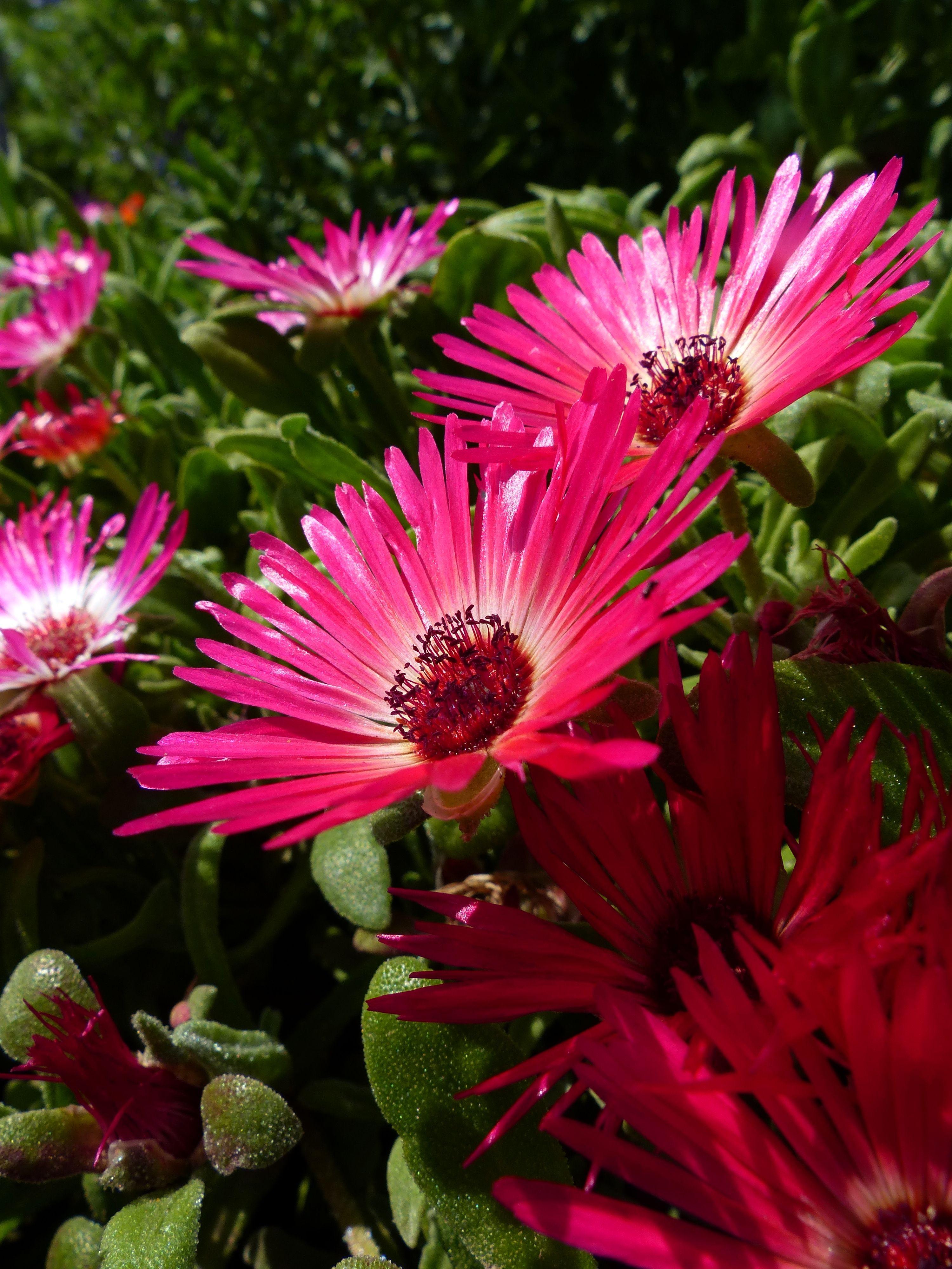 Dorotheanthus Bellidiformis Sparkles Mixture An Excellent Plant