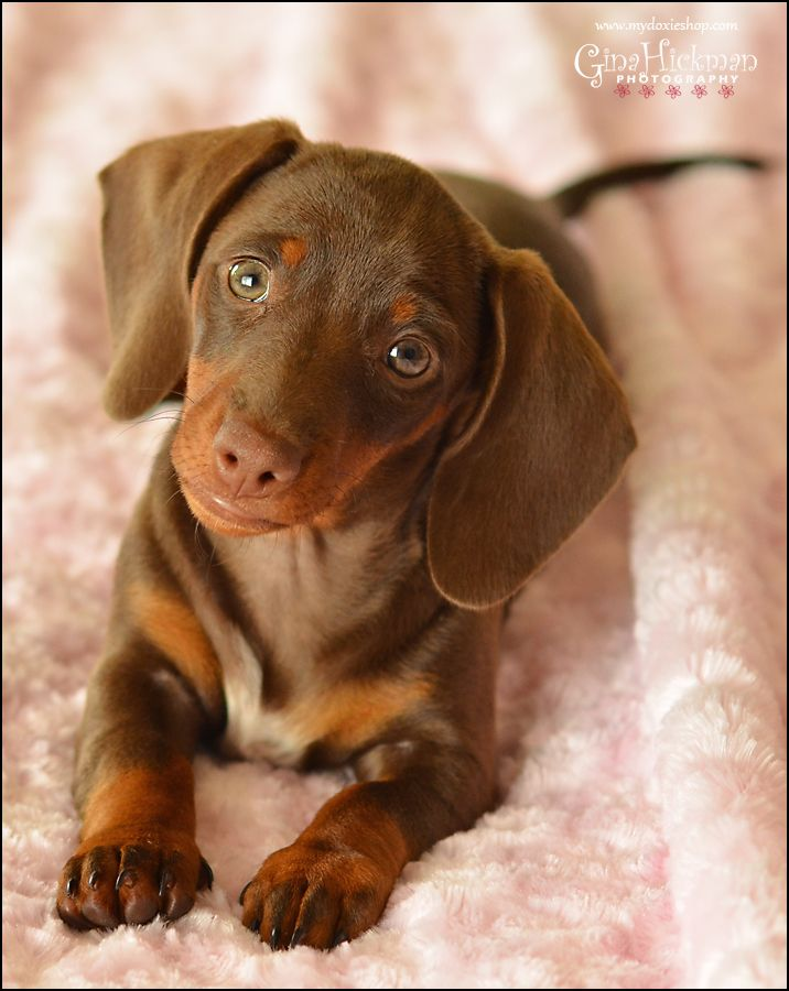 Adorable And Sweet Chocolate Dachshund Puppy Weenie Dogs Cute