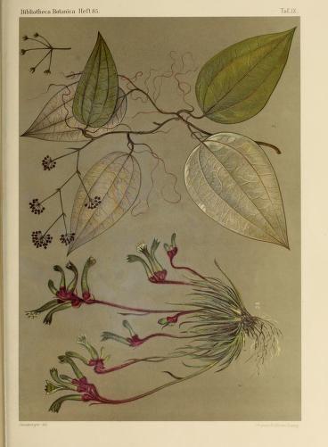 Fig. 1. Anigozanthos Gabrielae Dom. (Nat. Gr) Fig. 2. Smilax glycyphylla Smith, nach einem Exemplare vom Bellenden-Ker. (Nat. Gr.) Contributed by Harvard University Botany Libraries | Bd.20 (1915) - Bibliotheca botanica. - Biodiversity Heritage Library