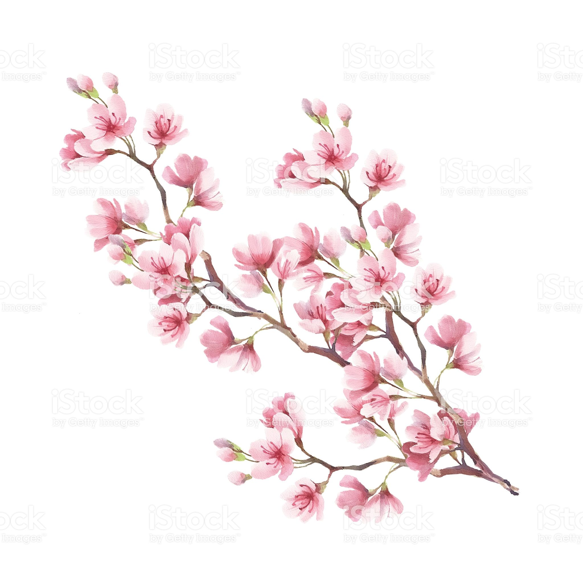 Branch Of Cherry Blossoms Hand Draw Watercolor Illustration