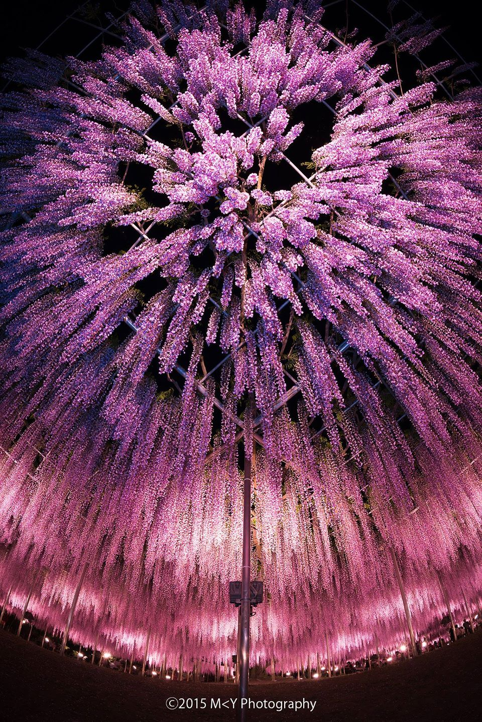 Ashikaga Flower Park, Tochigi, Japan 藤 Wisteria 東京カメラ部