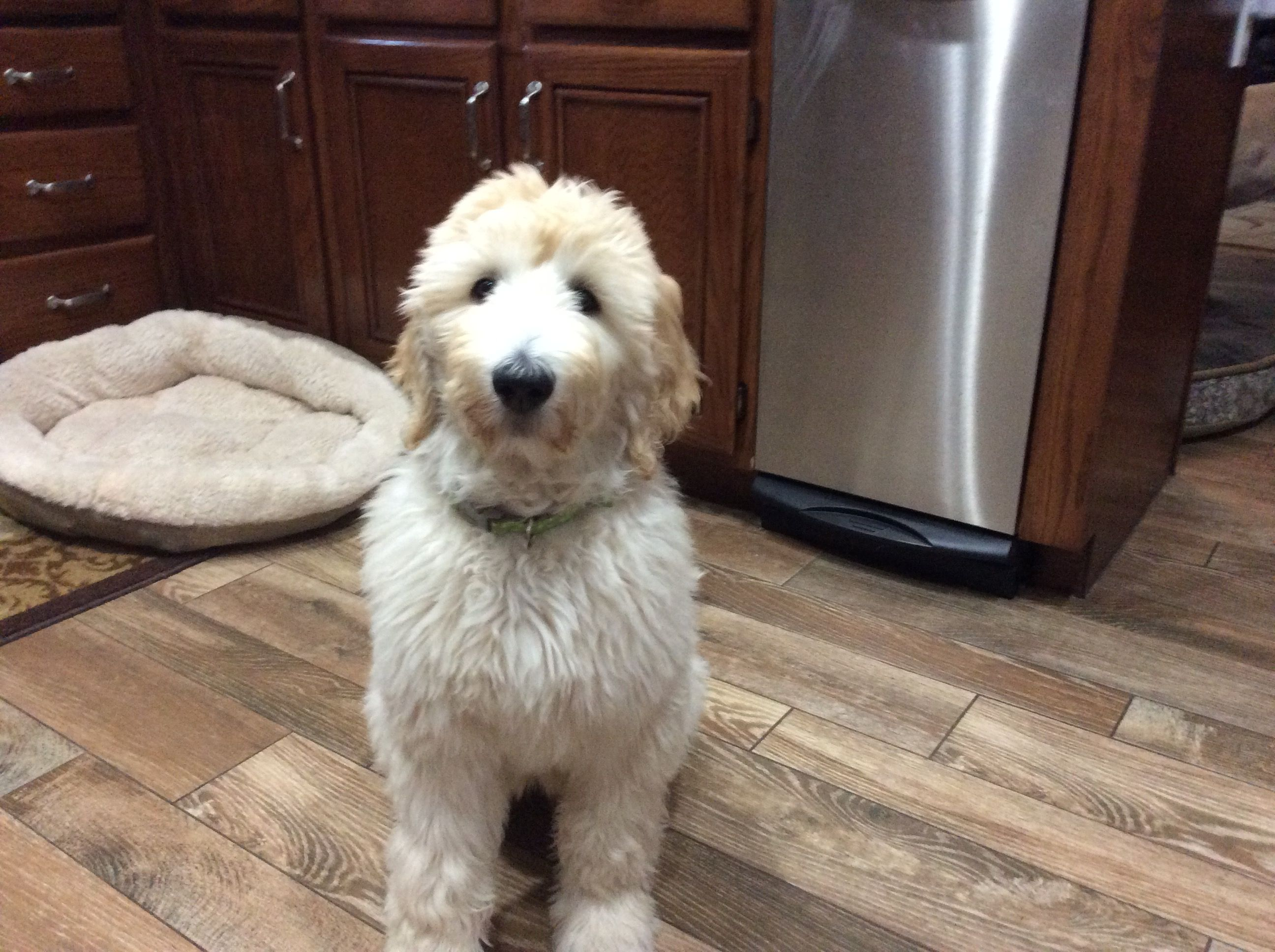Daisy My Goldendoodle Puppy She Is 12 Weeks Old Coastland