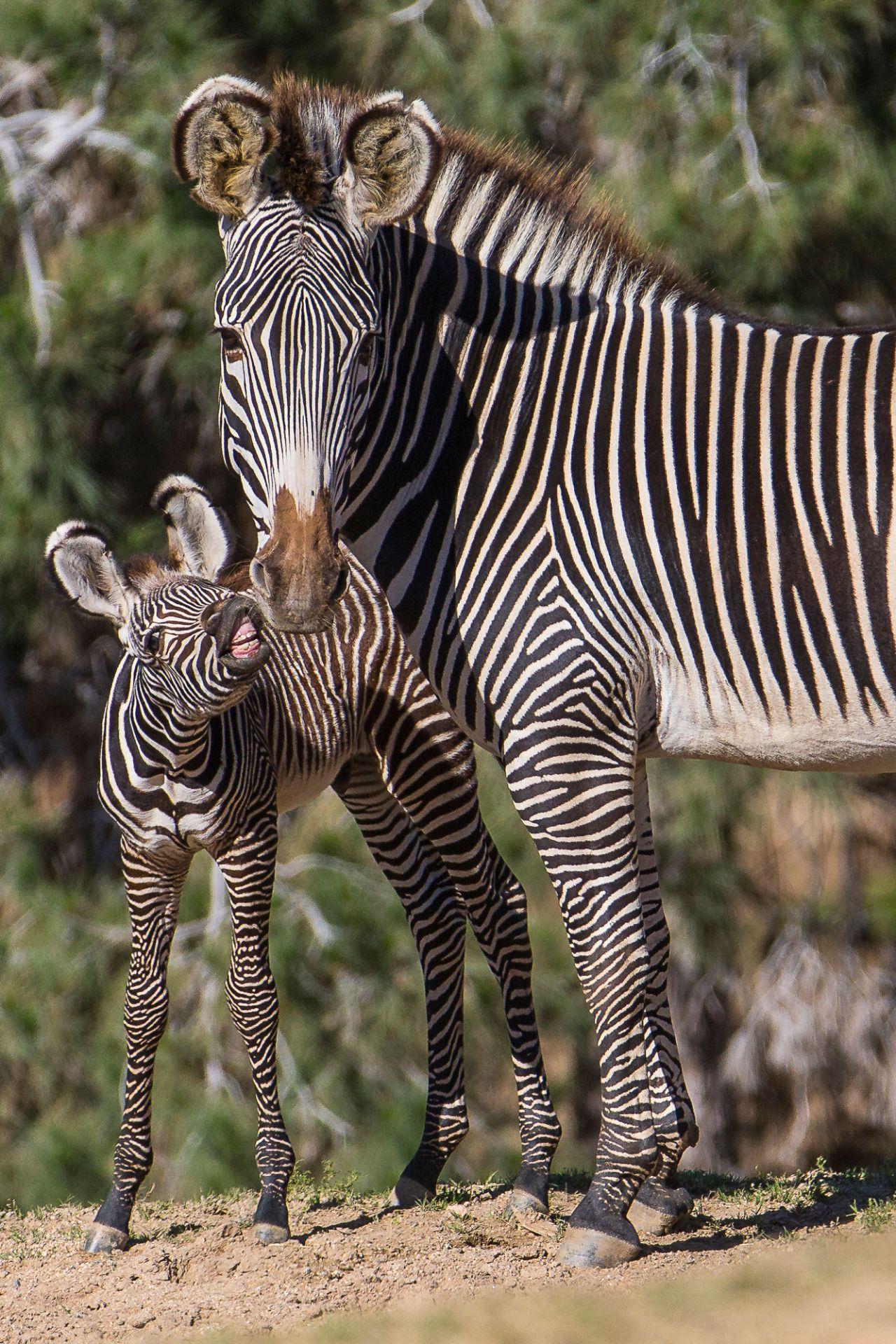 Картинка зебра с детенышем, курицей открытка летием