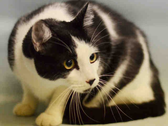 "SMITH - A1096553 - - Manhattan Please Share:***TO BE DESTROYED 11/15/16***NEUTERED..HEALTHY…SURRENDERED DUE TO ""ALLERGIES…""YEAR AND A HALF YEARS OLD… - Click for info & Current Status: http://nyccats.urgentpodr.org/smith-a1096553/"