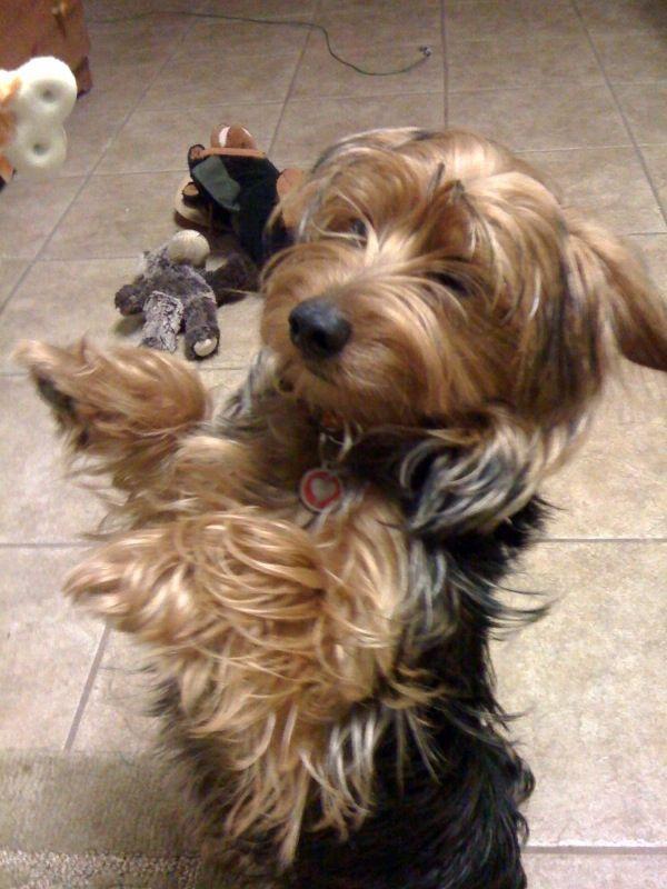 Dorkie Dachshund Yorkie Mix Info Temperament Puppies Pictures Dog Accessories Dogs Yorkie