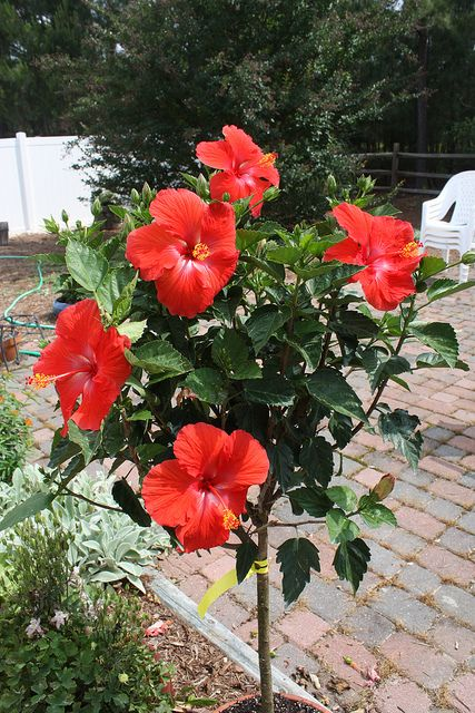 Hibiscus Tree Hibiscus Tree Hibiscus Plant Growing Hibiscus