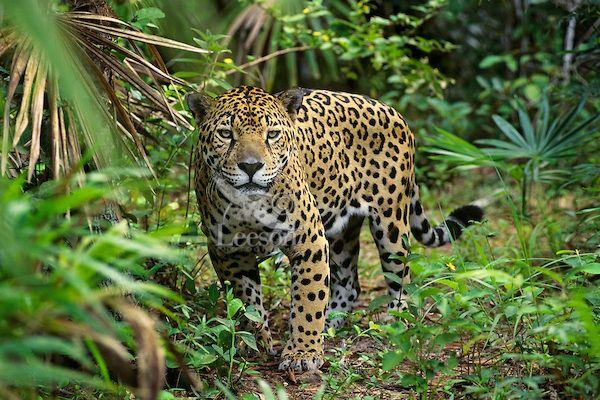 Big Cat Jaguar Panthera Onca In Rainforest Jungle Tom Pat Leeson Rainforest Animals Amazon Rainforest Animals Rainforest Jaguar