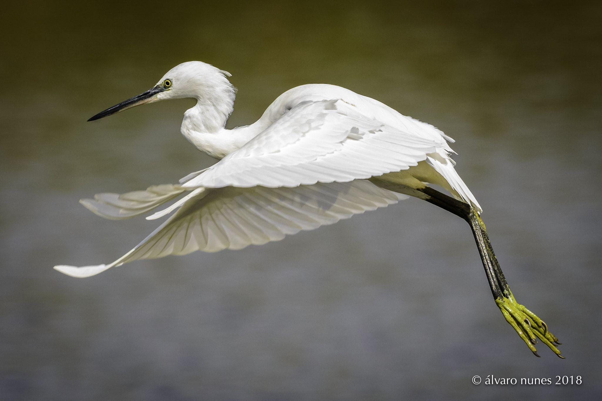Garca Branca Pequena Little Egret Egretta Garzetta Lagoa De
