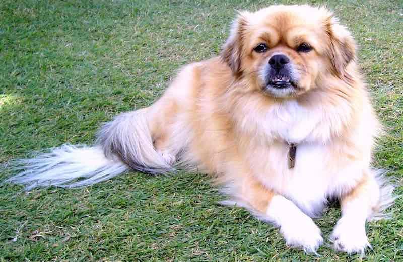 Tibetan Spaniel Psy